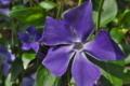 [ツルニチニチソウ][キョウチクトウ科][蔓日々草][蔓植物][青い花]ツルニチニチソウ