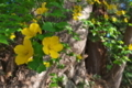 [ヤマブキ][バラ科][山吹][黄色い花][妙義神社]ヤマブキ