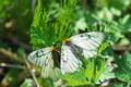 [ウスバシロチョウ][アゲハチョウ科][パルナシウス属][野原][白い蝶]ウスバシロチョウ