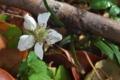 [クサイチゴ][バラ科][草苺][白い花][クスノキ]クサイチゴ