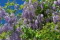 [フジ][マメ科][藤][蔓植物][紫色の花]フジ
