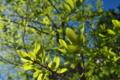 [クヌギ][ブナ科][新緑][若葉][雑木林]クヌギ