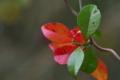 [テイカカズラ][キョウチクトウ科][蔓植物][赤い葉][藤原定家]テイカカズラ