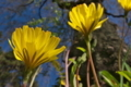 [オオジシバリ][キク科][しだれ桜][黄色い花][妙義神社]オオジシバリ