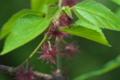 [コウゾ][クワ科][楮][雌花][赤い花]コウゾ