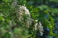 [ハリエンジュ][マメ科][ニセアカシア][河畔林][白い花]ハリエンジュ