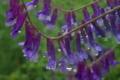 [クサフジ][マメ科][草藤][多年草][紫色の花]クサフジ