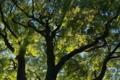 [ウラジロガシ][ブナ科][天然記念物][緑陰][妙義神社]ウラジロガシ