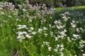 [ハルジオン][キク科][春紫菀][ヒメジョオン][白い花]ハルジオン