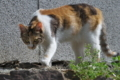 [猫][ネコ][ねこ][三毛猫][三毛]猫