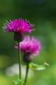 [ノアザミ][キク科][アザミ][野薊][ピンク色の花]ノアザミ