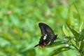 [モンキアゲハ][アゲハチョウ科][黒いアゲハ][黒い蝶][柑橘類]モンキアゲハ
