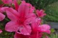 [皐月][ツツジ科][サツキ][さつき][ピンク色の花]皐月