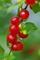 [ユスラウメ][バラ科][梅桃][庭木][赤い実]ユスラウメ