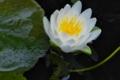 [睡蓮][スイレン][ハス池][白い花][ヒツジグサ]睡蓮