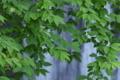 [チドリノキ][カエデ科][大牛川][砂防堰堤][妙義神社]チドリノキ