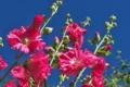 [タチアオイ][アオイ科][ホリホック][葵][ピンク色の花]タチアオイ