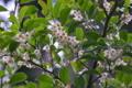 [サカキ][ツバキ科][榊][白い花][妙義神社]サカキ