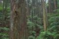 [スギ林][スギ][杉林][杉][森]スギ林