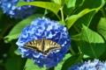 [キアゲハ][アゲハチョウ科][アゲハチョウ][紫陽花][アジサイ]キアゲハ