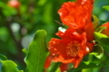[ザクロ][ザクロ科][石榴][ミソハギ科][赤い花]ザクロ