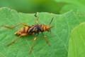[トラカミキリ][カミキリムシ科][カミキリムシ][蜂][スズメバチ]トラカミキリ
