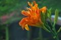 [ヤブカンゾウ][ユリ科][参道][オレンジ色の花][妙義神社]ヤブカンゾウ