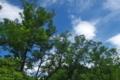 [ハリエンジュ][マメ科][夏空][青空][白い雲]ハリエンジュ