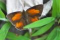 [ウラギンシジミ][シジミチョウ科][シジミチョウ][白い蝶][赤い蝶]ウラギンシジミ
