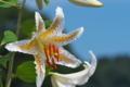 [ヤマユリ][ユリ科][山百合][百合][白い花]ヤマユリ