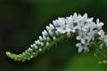 [オカトラノオ][サクラソウ科][丘虎の尾][花穂][白い花]オカトラノオ