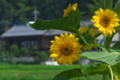 [ヒマワリ][キク科][ひまわり][向日葵][黄色い花]ヒマワリ