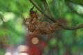 [夏の境内][セミ][蝉][アブラゼミ][妙義神社]夏の境内