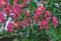 [サルスベリ][ミソハギ科][百日紅][ピンク色の花][中国原産]サルスベリ
