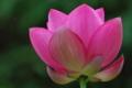 [蓮][ハス][古刹][ピンク色の花][補陀寺]ハス池