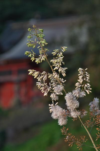 タケニグサ