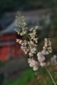 [タケニグサ][ケシ科][随神門][白い花][妙義神社]タケニグサ