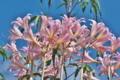 [ナツズイセン][ヒガンバナ科][ハダカユリ][キダチダリア][ピンク色の花]ナツズイセン