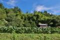 [サトイモ畑][サトイモ][里芋][山里][夏空]サトイモ畑