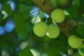 [銀杏][イチョウ][ギンナン][銀杏畑][青い実]銀杏