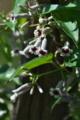 [ヘクソカズラ][アカネ科][ヤイトバナ][サオトメバナ][白い花]ヘクソカズラ