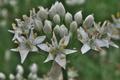 [ニラ][韮][ヒガンバナ科][白い花][ネギ属]ニラ