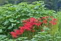 [ヒガンバナ][ヒガンバナ科][曼珠沙華][赤い花][イラクサ]ヒガンバナ