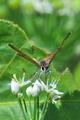 [ベニシジミ][シジミチョウ科][畦道][ニラ][白い花]ベニシジミ