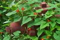 [マルバルコウ][ヒルガオ科][蔓植物][消火栓][赤い花]マルバルコウ