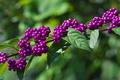 [コムラサキ][クマツヅラ科][ムラサキシキブ][コシキブ][紫色の実]コムラサキ
