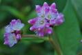 [ミゾソバ][タデ科][用水路][ピンク色の花][白い花]ミゾソバ