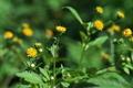 [コセンダングサ][キク科][道端][帰化植物][黄色い花]コセンダングサ