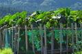 [サトイモ畑][サトイモ][里芋畑][里芋][里いも]サトイモ畑