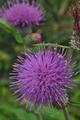 [ノハラアザミ][キク科][アザミ][ノアザミ][紫色の花]ノハラアザミ